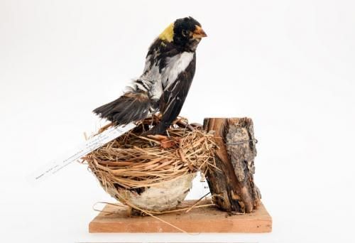 66114 - Bobolink (bird) Mount
