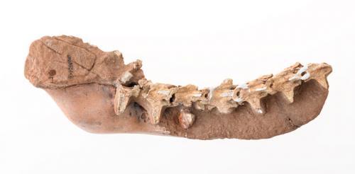 FGM994GF64.44 Dinosaur Tail