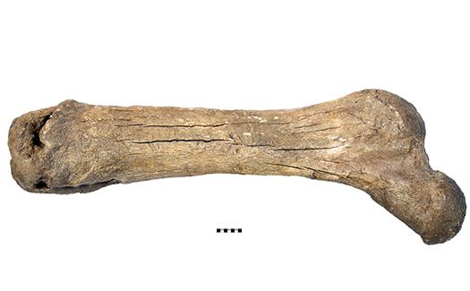 Mastodon femur