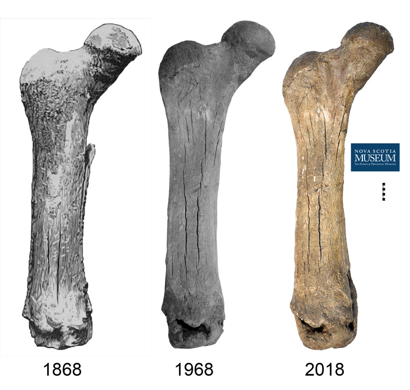 Historic illustration and photographs of the Mastodon femur