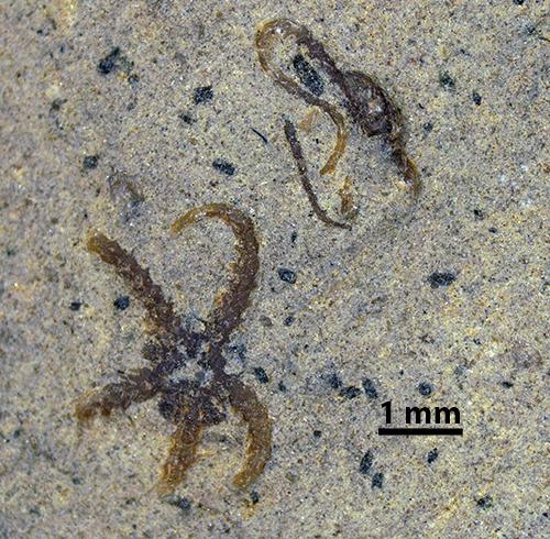 Fossil Brittlestars from Nova Scotia
