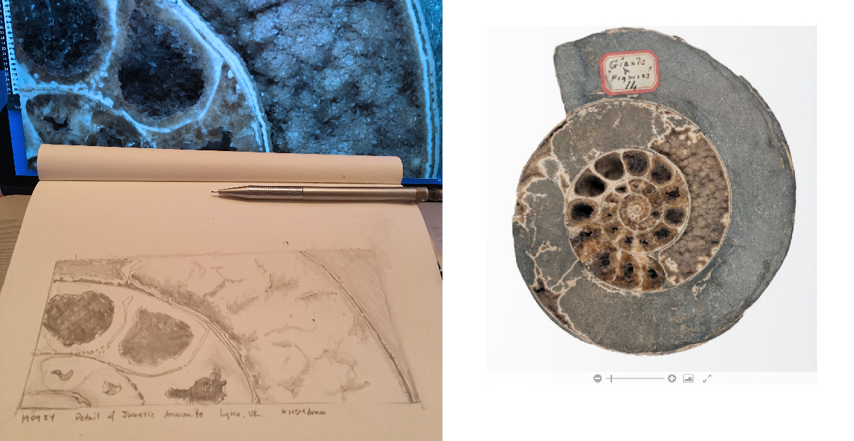 Drawing and Ammonite fossil