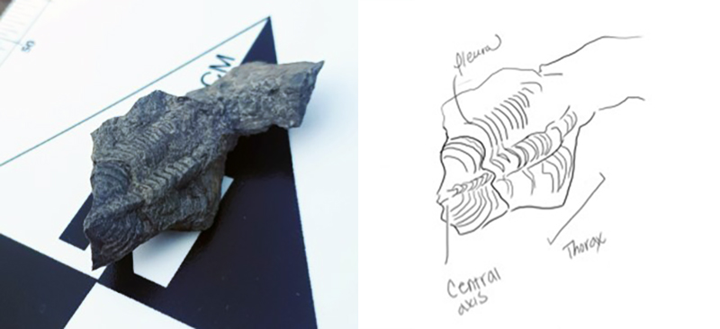 Trilobite fossil and interpretive drawing.