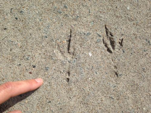Bird footprints preserved in a cement sidewalk