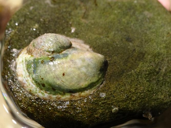 Atlantic slipper limpets (two)