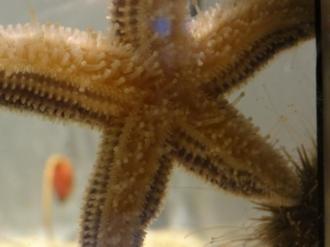Sea star, underside