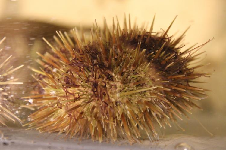 Green sea urchin (side view)