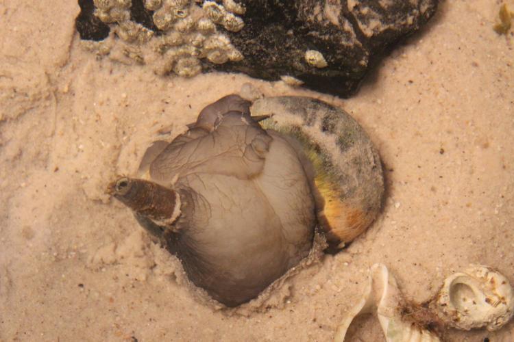 Northern moon snail, feeding on a bivalve