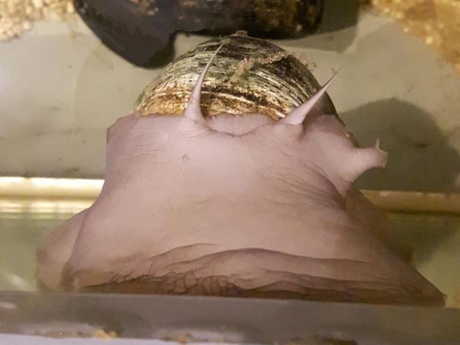Northern moon snail (front view)