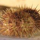 Green sea urchin (side view)