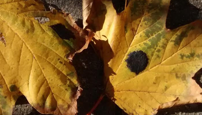 "Norway Maple leaves with typical ""tar spot"""